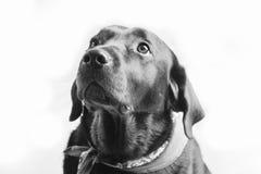Retrato simples de um Labrador preto Fotografia de Stock