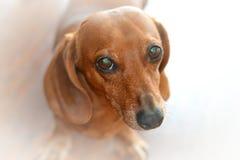 Retrato soñador del perro basset contra un backgrou blanco Fotografía de archivo libre de regalías