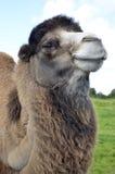 Retrato sonriente del camello bactriano Imagenes de archivo