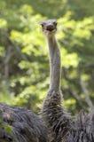 Retrato sorprendido de la avestruz foto de archivo libre de regalías