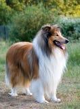 Retrato áspero del perro del collie Fotografía de archivo libre de regalías