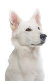 Retrato suizo blanco del perro del sheperd Imagen de archivo libre de regalías