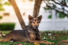 Retrato surpreendente do cão novo durante o por do sol que senta-se na grama sobre fotos de stock royalty free