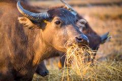 Retrato tailandés del búfalo, Tailandia fotografía de archivo libre de regalías