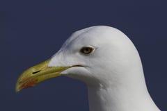 Retrato tranquilo de la gaviota Imágenes de archivo libres de regalías