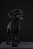 Retrato trasero del caniche en fondo negro Fotos de archivo