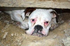 Retrato triste do cão do pugilista imagens de stock
