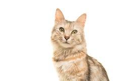 Retrato turco do gato do angora do gato malhado que olha a câmera fotos de stock