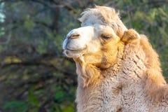 Retrato two-humped bactriano do camelo, bactrianus do Camelus Jardim zool?gico de Liberec, Rep?blica Checa fotos de stock