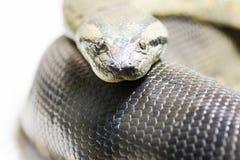 Retrato a una serpiente del pitón Foto de archivo