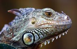 Retrato verde da iguana Imagens de Stock