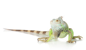 Retrato verde da iguana fotos de stock