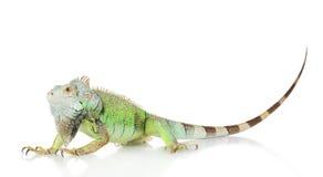 Retrato verde da iguana fotografia de stock