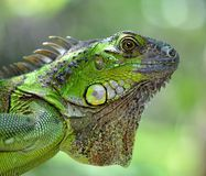 Retrato verde de la iguana fotos de archivo libres de regalías