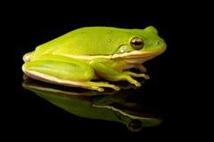Retrato verde del estudio de la rana arbórea fotografía de archivo libre de regalías