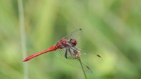 Retrato vermelho da libélula Foto de Stock Royalty Free