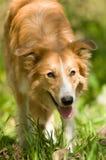 Retrato vermelho do collie de beira no verão fotografia de stock