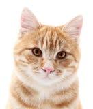 Retrato vermelho do gato no branco Fotos de Stock