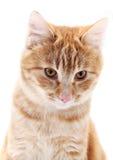 Retrato vermelho do gato no branco Imagem de Stock Royalty Free