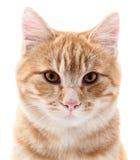 Retrato vermelho do gato no branco Fotografia de Stock Royalty Free