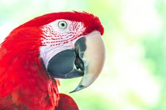 Retrato vermelho Verde-voado do papagaio da arara imagens de stock