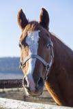 Retrato vertical de um cavalo novo do puro-sangue Imagem de Stock