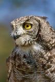 Retrato vertical de uma coruja de águia manchada Imagens de Stock Royalty Free