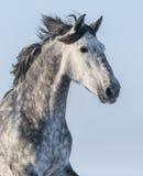 Retrato vertical del caballo gris en fondo azul Fotos de archivo libres de regalías