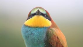 Retrato video de un pájaro coloreado hermoso almacen de video