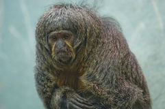 Retrato White-faced fêmea do macaco de Saki Fotografia de Stock