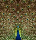 Retrato y cierre para arriba del pavo real Fotografía de archivo