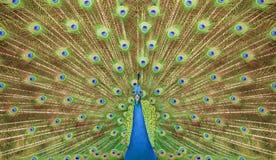 Retrato y cierre para arriba del pavo real Imagen de archivo