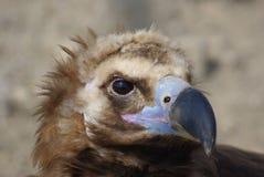 Retratos animales--buitre Fotografía de archivo libre de regalías