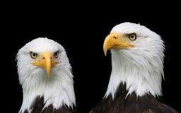 Retratos da águia calva Fotografia de Stock Royalty Free