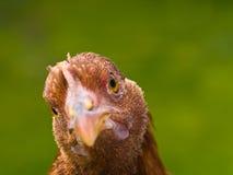 Retratos da galinha Imagem de Stock