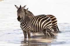 Retratos da zebra no parque nacional de Tarangire, Tanzânia Fotos de Stock Royalty Free