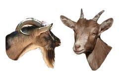 Retratos de la cabra delantera y en perfil Fotos de archivo