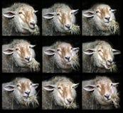 Retratos de mastigar carneiros Imagens de Stock