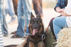 Retratos del perro Imagen de archivo libre de regalías