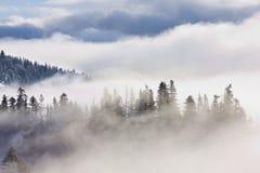 Retratos inspirados de árvores de pinho na névoa Fotos de Stock