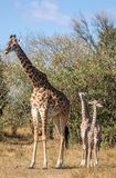 Retratos llenos del cuerpo de la familia de la jirafa del masai, con la madre y el descendiente joven dos en paisaje africano del foto de archivo libre de regalías