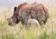 Retreating Rhinos Royalty Free Stock Photography