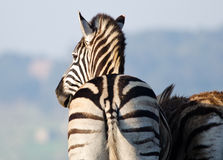 Retreating Zebra Stock Photography