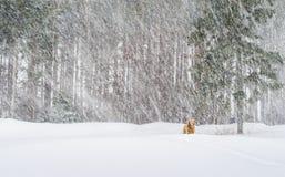 Retreiver de oro en tormenta de la nieve Imagenes de archivo