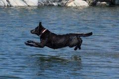 Retreiver di Labrador Fotografia Stock Libera da Diritti