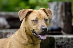 Retreiver Vizsla trakenu ogar mieszający pies Obrazy Royalty Free