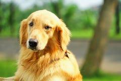 Retrievel собаки золотое стоковые изображения rf