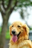 Retrievel de oro del perro fotografía de archivo