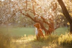 Retriever διοδίων παπιών της Νέας Σκοτίας σκυλιών σε έναν οπωρώνα της Apple Στοκ εικόνα με δικαίωμα ελεύθερης χρήσης