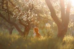 Retriever διοδίων παπιών της Νέας Σκοτίας σκυλιών σε έναν οπωρώνα της Apple Στοκ Εικόνες